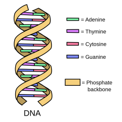 1000px-DNA_simple2.svg